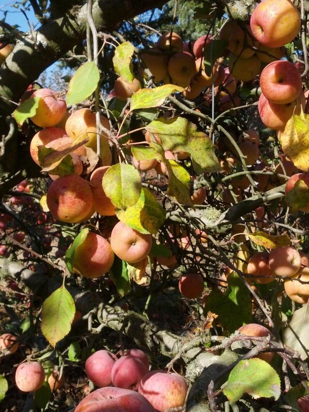 Apple Picking 4